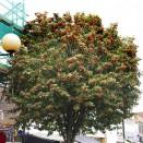 Sorbus thiringiaca Fastigiata