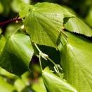 Tei Tilia platiphyllos Orebro