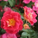 Trandafir urcator Bajazzo