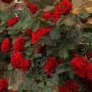 Trandafir urcator Don Juan