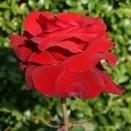 Trandafir Duftzauber